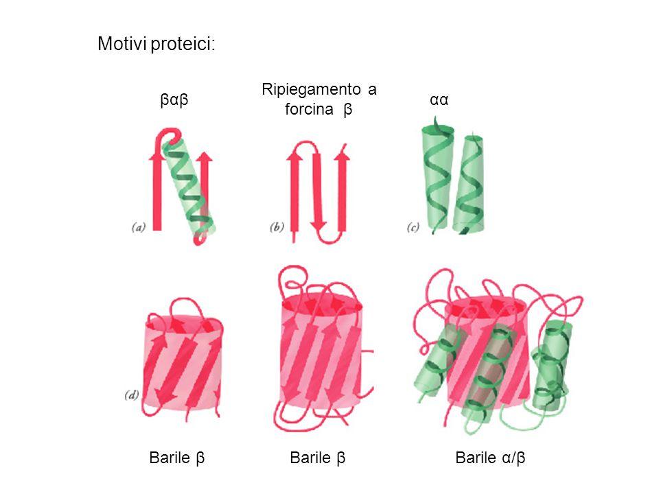 Motivi proteici: βαβ Ripiegamento a forcina β αα Barile β Barile α/β