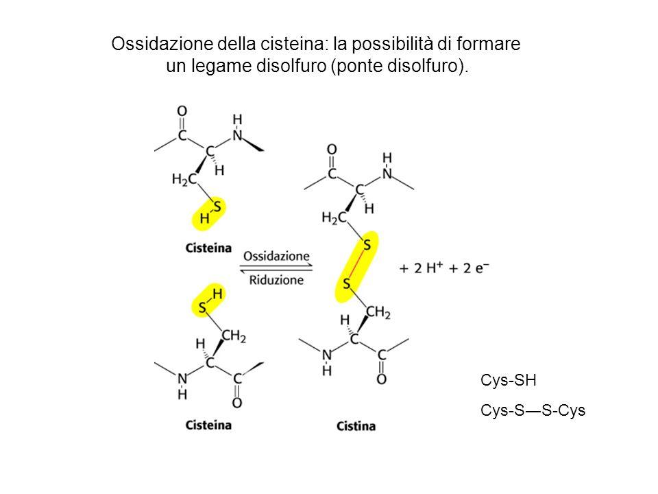 Ossidazione della cisteina: la possibilità di formare un legame disolfuro (ponte disolfuro). Cys-SH Cys-SS-Cys