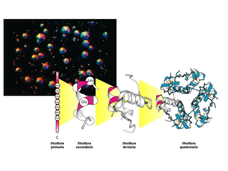 Struttura delle proteine: I quattro livelli.