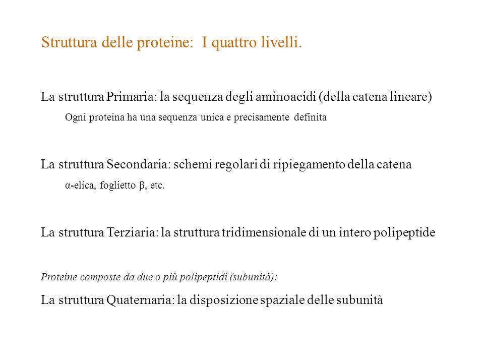 Struttura delle proteine: I quattro livelli. La struttura Primaria: la sequenza degli aminoacidi (della catena lineare) Ogni proteina ha una sequenza
