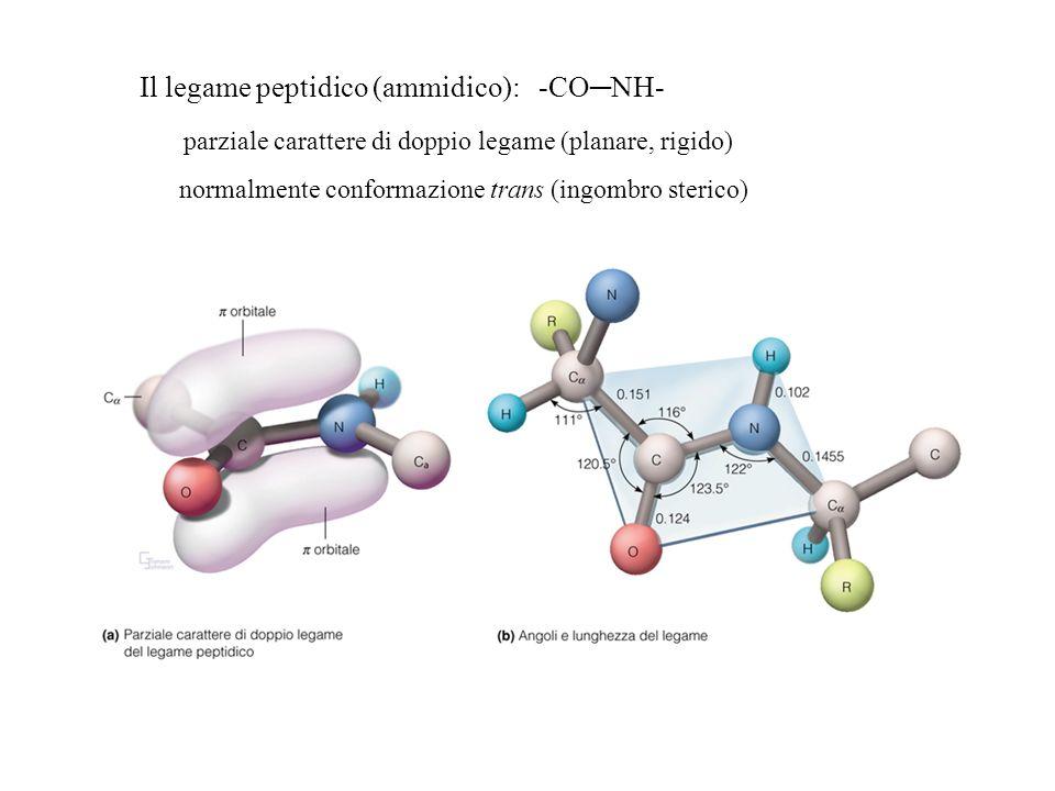 Il legame peptidico (ammidico): -CONH- parziale carattere di doppio legame (planare, rigido) normalmente conformazione trans (ingombro sterico)