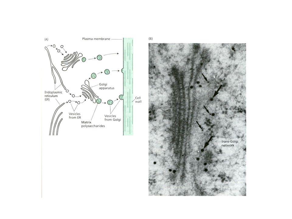 EMICELLULOSE gruppo eterogeneo di polisaccaridi alta variabilità (tessuti, specie) XILOGLUCANI XILANI GLUCANI MANNANI GLUCOMANNANI