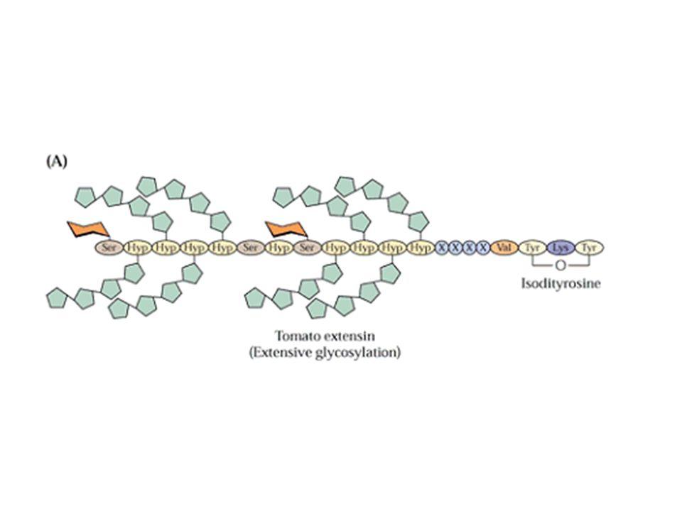PROTEINE DELLA PARETE ESTENSINA (HRGP) motivo Ser-(Hyp) 4 residui di idrossiprolina glicosilati (arabinosio) alcune serine glicosilate (galattosio) fo