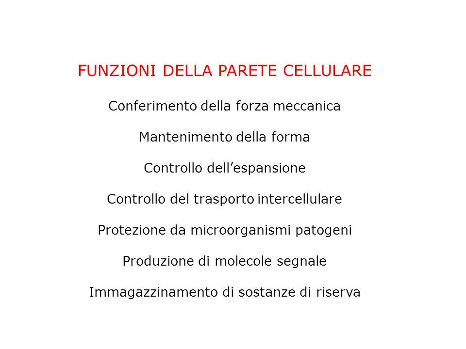 FUNZIONI DELLA PARETE CELLULARE Conferimento della forza meccanica Mantenimento della forma Controllo dellespansione Controllo del trasporto intercellulare Protezione da microorganismi patogeni Produzione di molecole segnale Immagazzinamento di sostanze di riserva