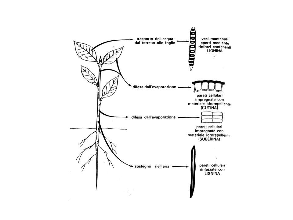 PARETE SECONDARIA cessazione crescita ispessimento della parete primaria per stratificazione di materiale forma cellulare sostegno meccanico della pia