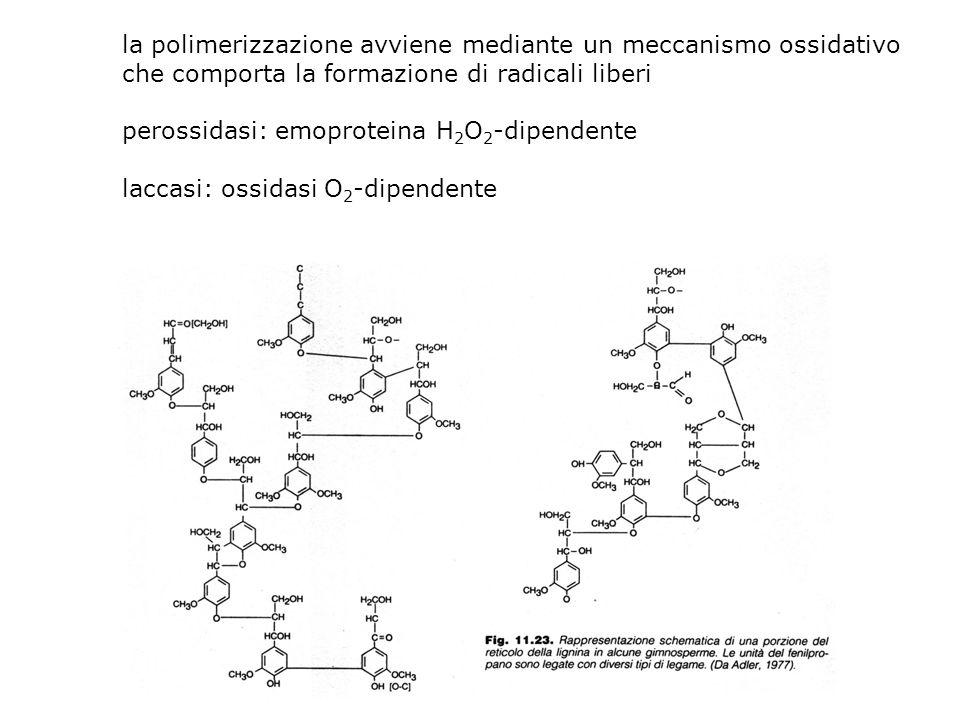 LIGNINA polimero di natura fenolica costituenti: alcol coniferilico alcol sinapilico alcol cumarilico