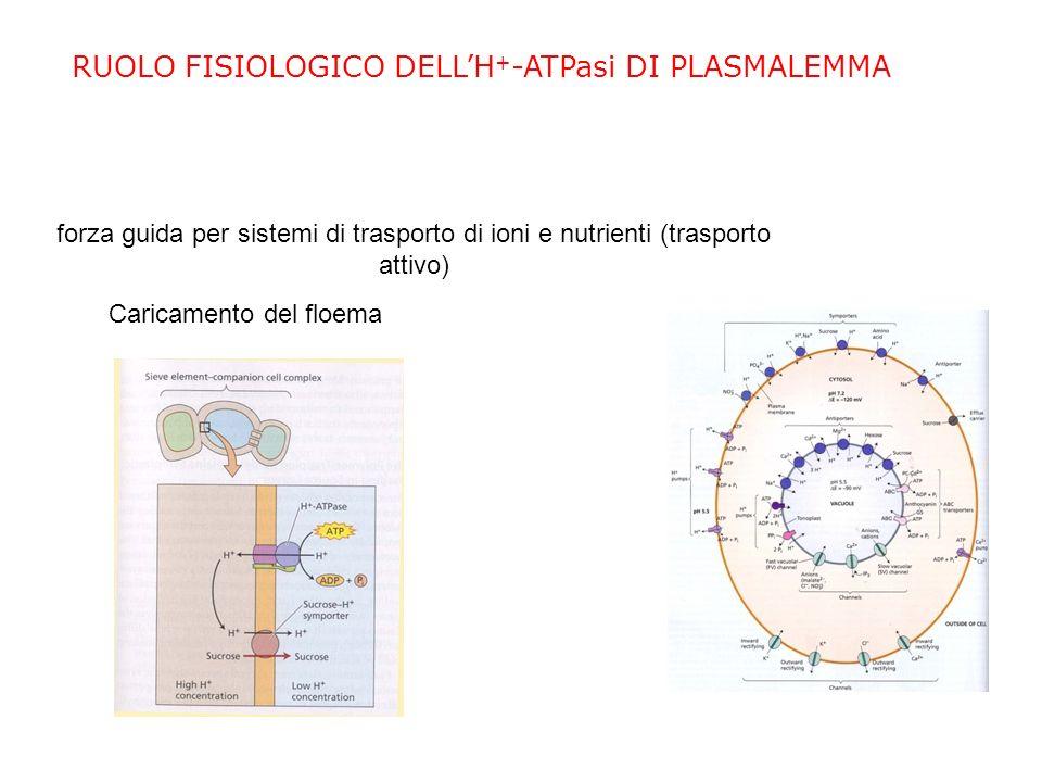 RUOLI FISIOLOGICI DELLH + -ATPasi DI PLASMALEMMA Mantenimento del pH del citoplasma Generazione del potenziale di membrana