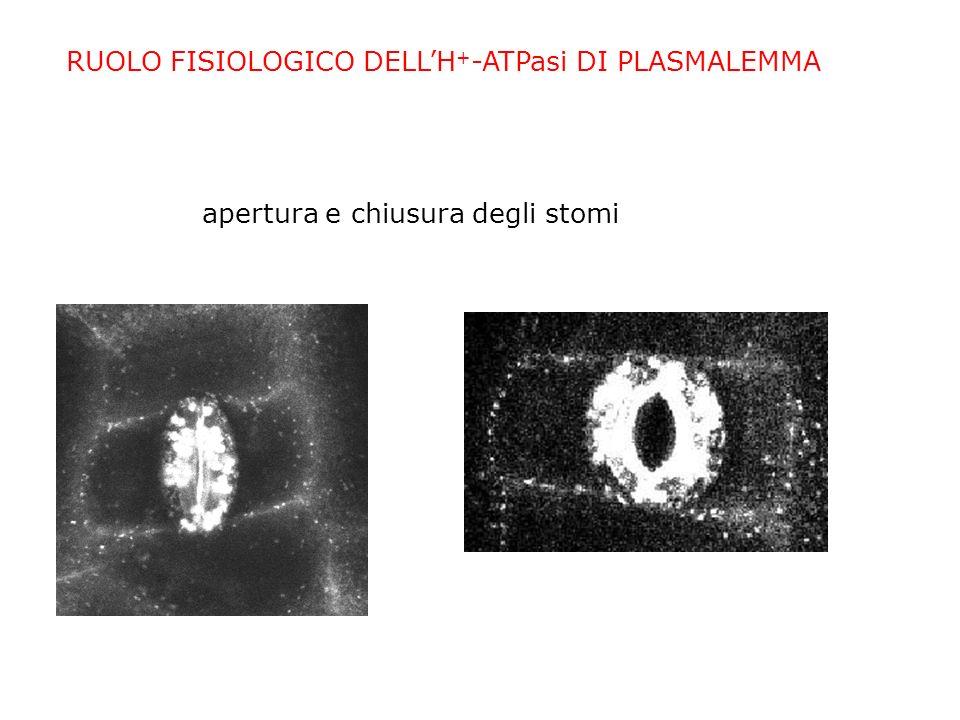 RUOLO FISIOLOGICO DELLH + -ATPasi DI PLASMALEMMA forza guida per sistemi di trasporto di ioni e nutrienti (trasporto attivo) Caricamento del floema