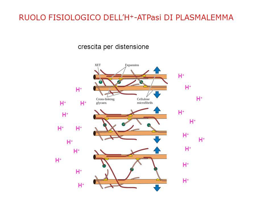 RUOLO FISIOLOGICO DELLH + -ATPasi DI PLASMALEMMA apertura e chiusura degli stomi