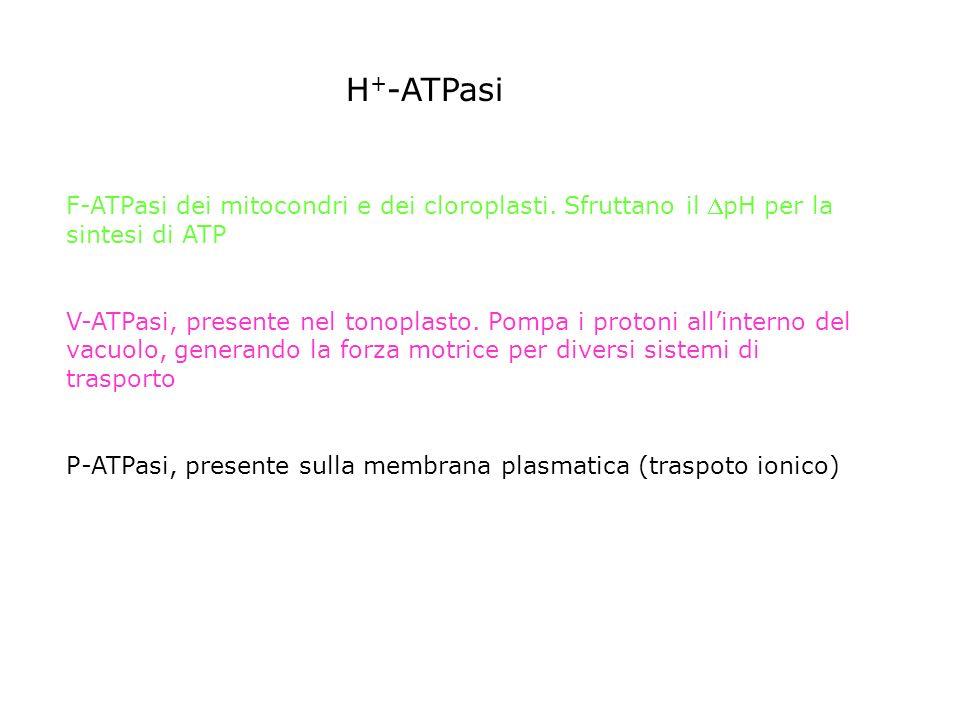 RUOLO FISIOLOGICO DELLH + -ATPasi DI PLASMALEMMA crescita per distensione H+H+ H+H+ H+H+ H+H+ H+H+ H+H+ H+H+ H+H+ H+H+ H+H+ H+H+ H+H+ H+H+ H+H+ H+H+ H