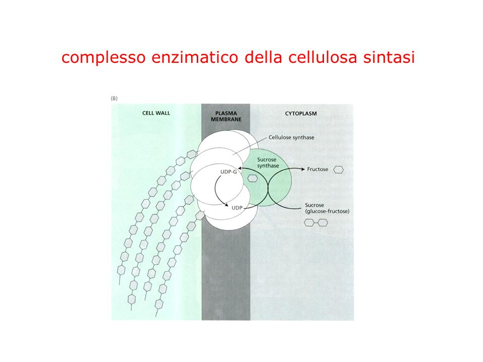complesso enzimatico della cellulosa sintasi