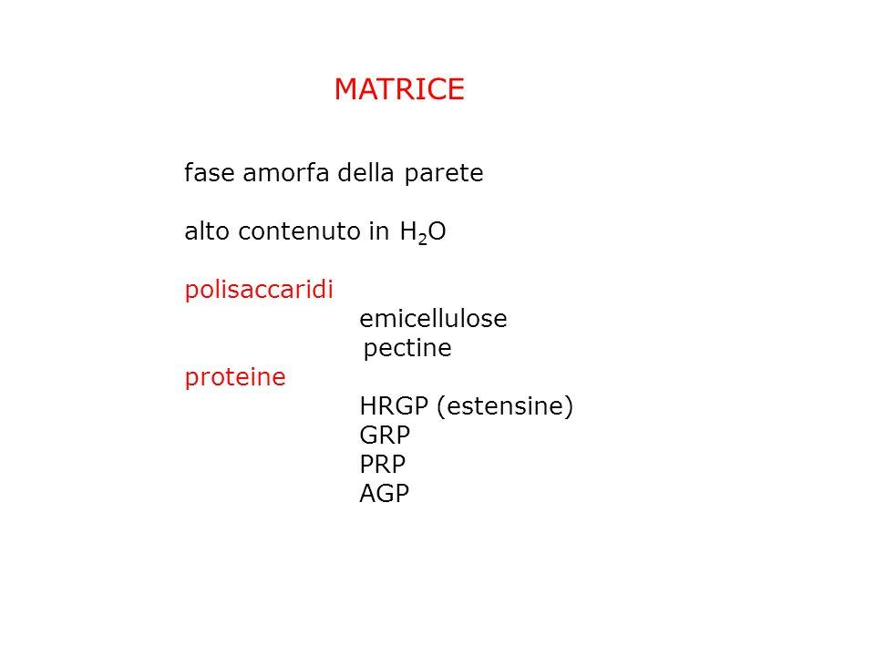 MATRICE fase amorfa della parete alto contenuto in H 2 O polisaccaridi emicellulose pectine proteine HRGP (estensine) GRP PRP AGP