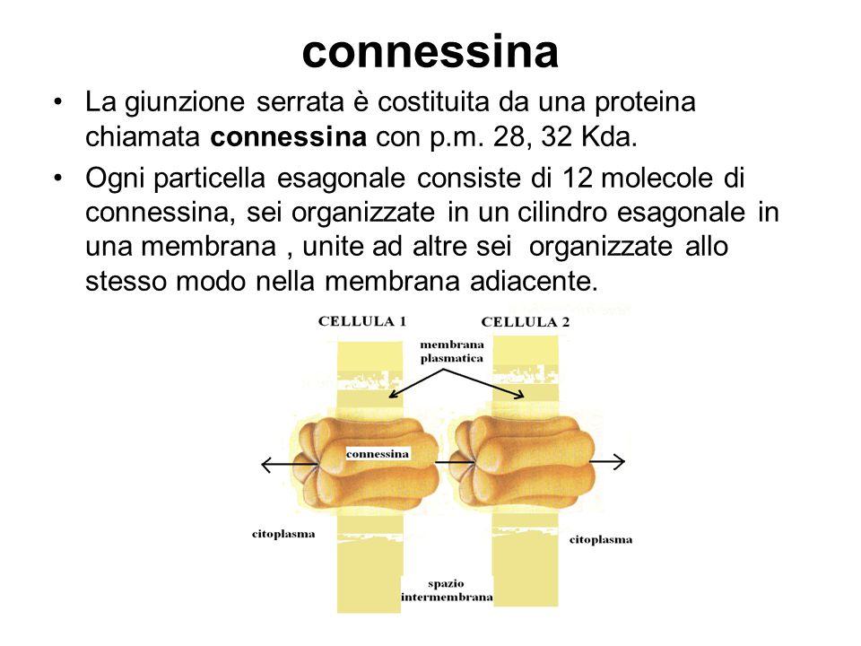 connessina La giunzione serrata è costituita da una proteina chiamata connessina con p.m. 28, 32 Kda. Ogni particella esagonale consiste di 12 molecol