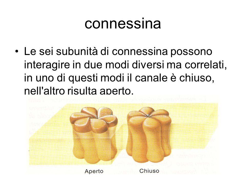 connessina Le sei subunità di connessina possono interagire in due modi diversi ma correlati, in uno di questi modi il canale è chiuso, nell'altro ris