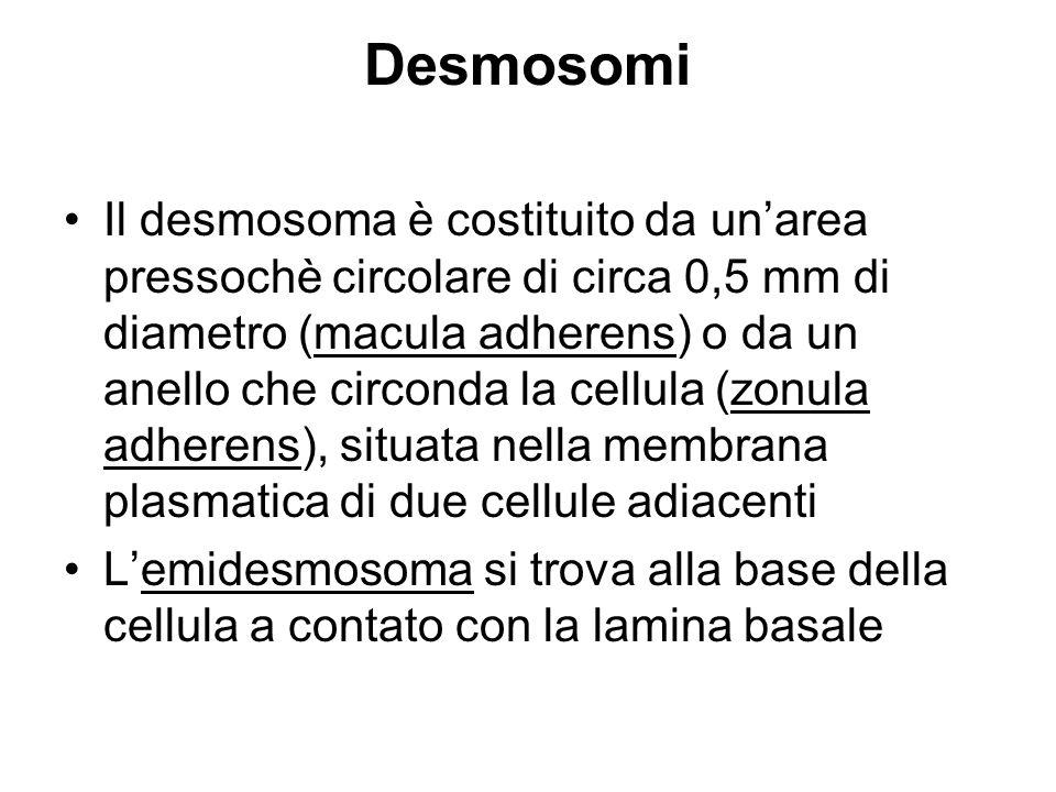Desmosomi Il desmosoma è costituito da unarea pressochè circolare di circa 0,5 mm di diametro (macula adherens) o da un anello che circonda la cellula