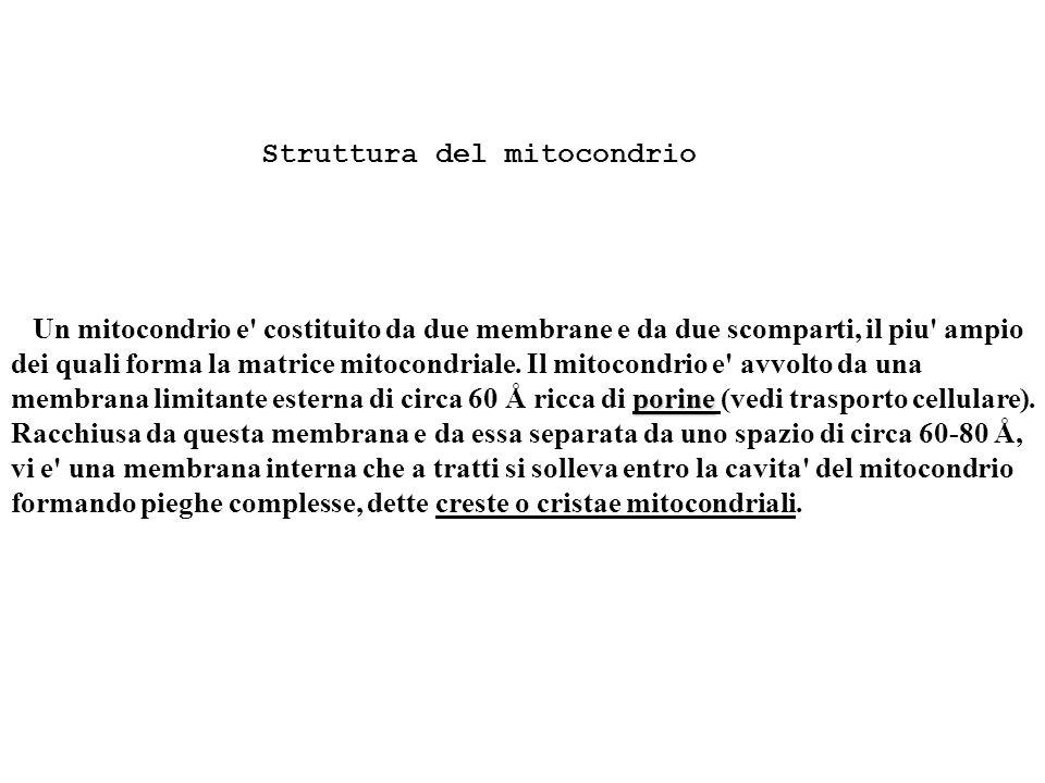 Struttura del mitocondrio porine Un mitocondrio e costituito da due membrane e da due scomparti, il piu ampio dei quali forma la matrice mitocondriale.