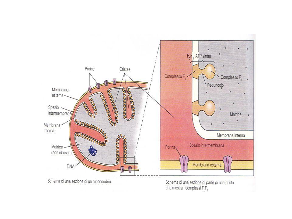 La membrana interna divide il mitocondrio in due scomparti: la camera esterna compresa tra le due membrane e che occupa la parte centrale delle creste, e la camera interna limitata dalla membrana interna.