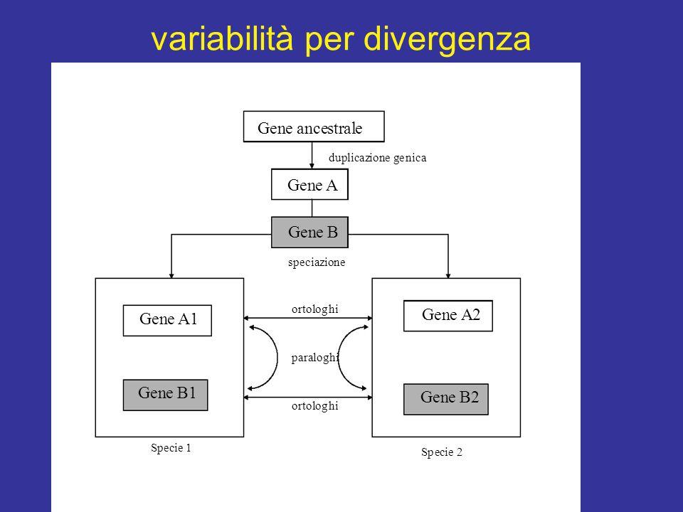 variabilità per divergenza Gene ancestrale duplicazione genica Gene A e B speciazione ortologhi paralog Gene A1 e A2 e B1 Specie 1 ortologhi Gene B2 S