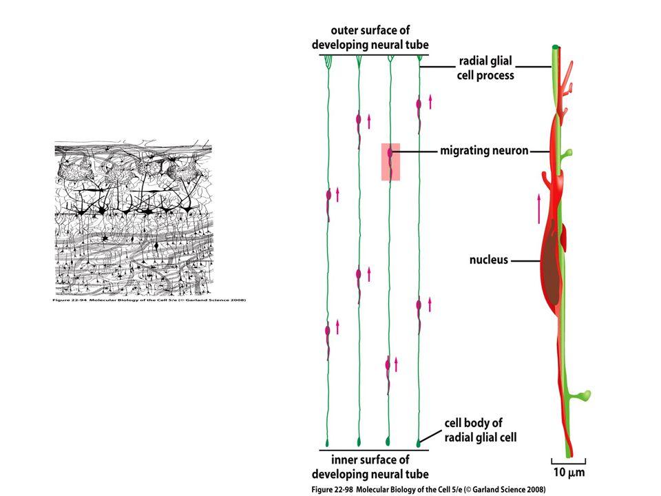 Al neurone vengono assegnati caratteri diversi in base al momento e al luogo di differenziamento Il carattere assegnato ad un neurone ne governa le connessioni future