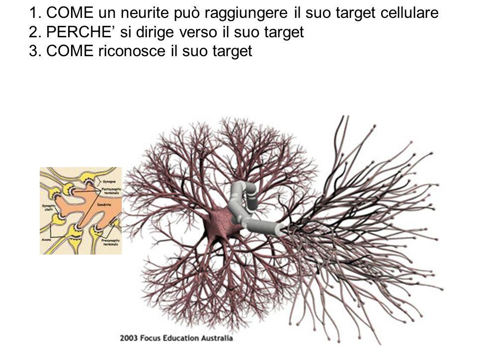 1. COME un neurite può raggiungere il suo target cellulare 2. PERCHE si dirige verso il suo target 3. COME riconosce il suo target