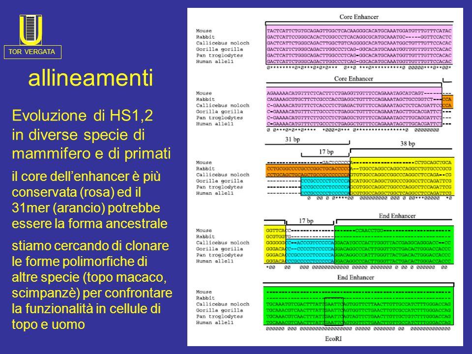 Evoluzione di HS1,2 in diverse specie di mammifero e di primati il core dellenhancer è più conservata (rosa) ed il 31mer (arancio) potrebbe essere la forma ancestrale stiamo cercando di clonare le forme polimorfiche di altre specie (topo macaco, scimpanzè) per confrontare la funzionalità in cellule di topo e uomo allineamenti TOR VERGATA U