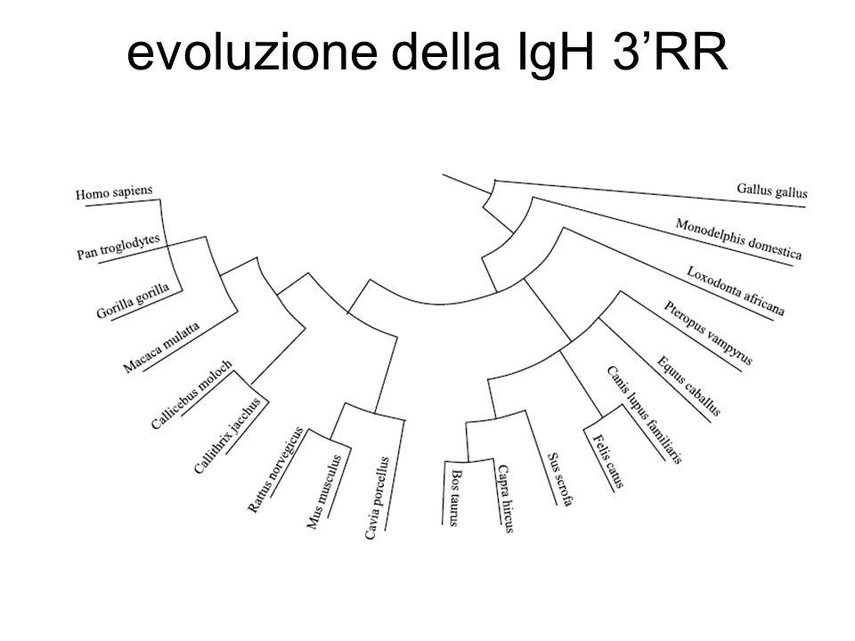 evoluzione della IgH 3RR