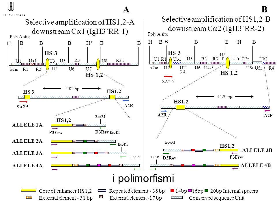 6 alleli Figure 3 polymorphism of HS1,2A Sites for : SP1; IK2; MZF1 Sites for :CEBP; CETS1P54 (-); CMYB; HSF; MEF2; OCT1; SR-Y; STAT; TH1E47; YY1 (-) Sites for : AP4; E47; MYOD; E5 Sites for : NF-kB Sites for : CMYB ALLELE *4 20bp Sp.