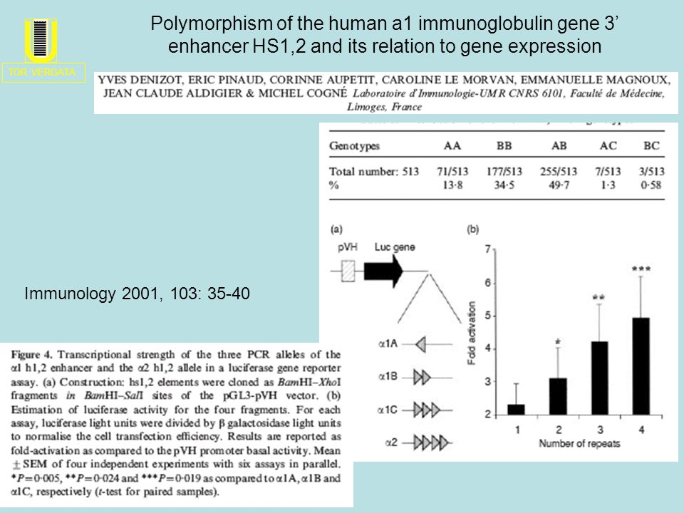 Immunology 2001, 103: 35-40 Polymorphism of the human a1 immunoglobulin gene 3 enhancer HS1,2 and its relation to gene expression TOR VERGATA U