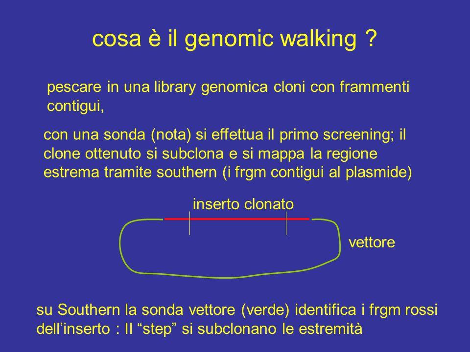cosa è il genomic walking ? pescare in una library genomica cloni con frammenti contigui, con una sonda (nota) si effettua il primo screening; il clon