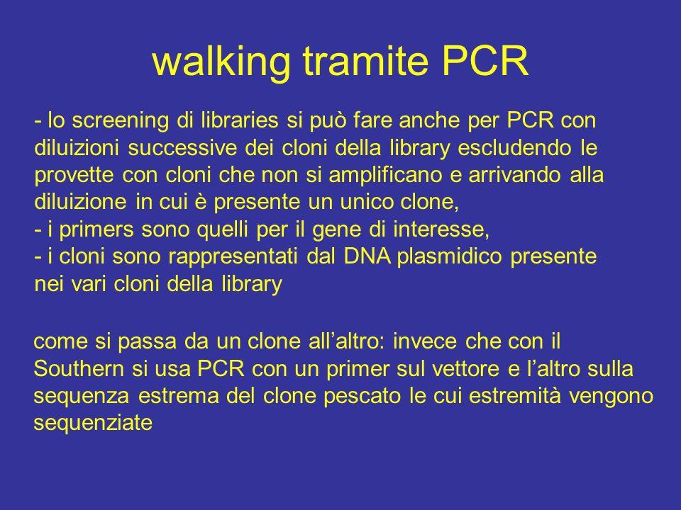 walking tramite PCR - lo screening di libraries si può fare anche per PCR con diluizioni successive dei cloni della library escludendo le provette con