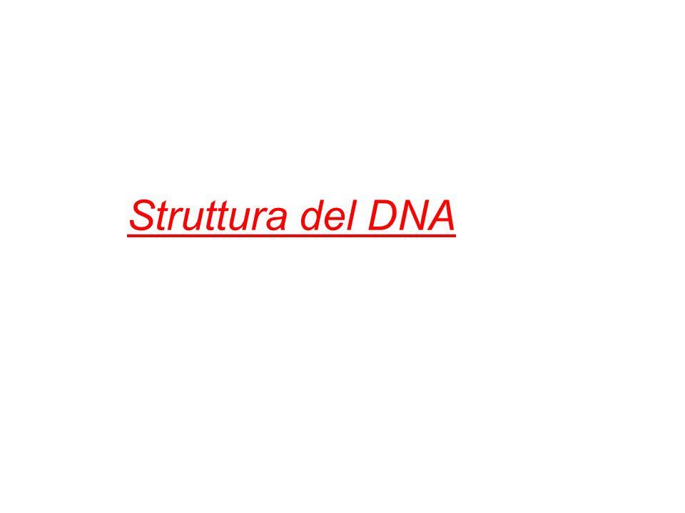 L acido desossiribonucleico o deossiribonucleico (DNA) è un acido nucleico che contiene le informazioni genetiche necessarie alla biosintesi di RNA e proteine