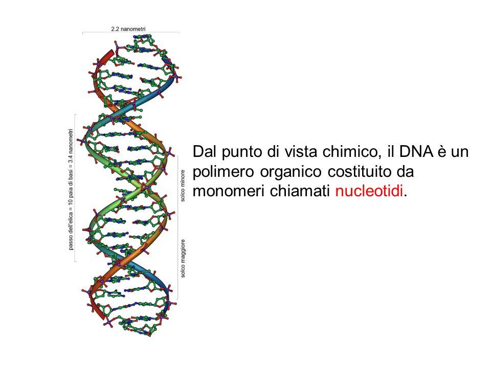 Dal punto di vista chimico, il DNA è un polimero organico costituito da monomeri chiamati nucleotidi.