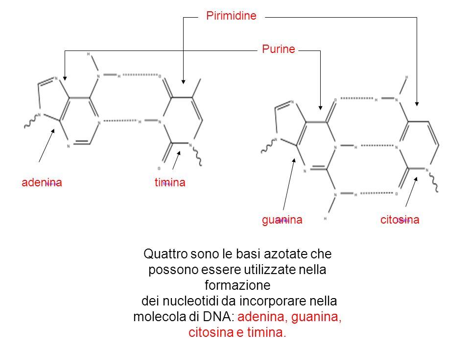 Quattro sono le basi azotate che possono essere utilizzate nella formazione dei nucleotidi da incorporare nella molecola di DNA: adenina, guanina, citosina e timina.