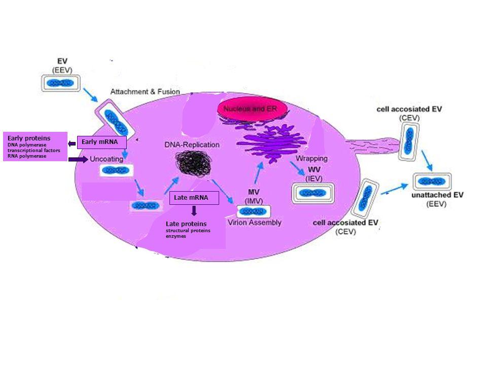 4 Hepadnaviridae virus dellEpatite B (HBV) virus pleiomorfo particella di Dane (42 nm)