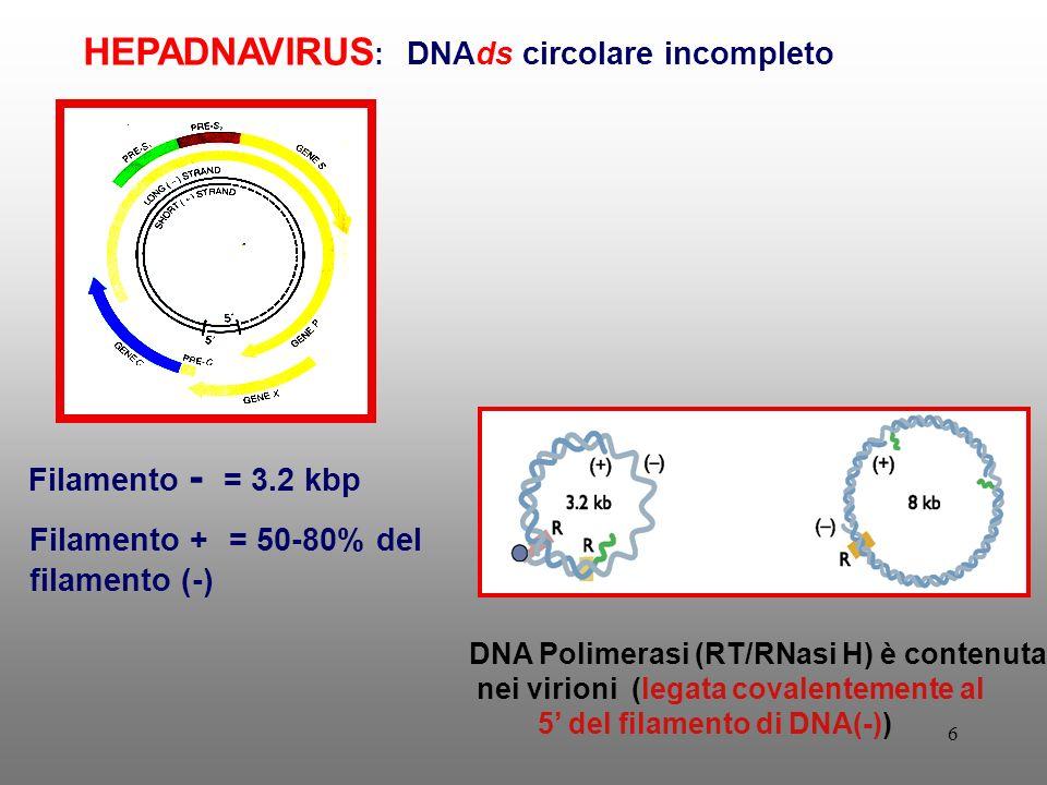 6 Filamento - = 3.2 kbp Filamento + = 50-80% del filamento (-) HEPADNAVIRUS : DNAds circolare incompleto DNA Polimerasi (RT/RNasi H) è contenuta nei virioni (legata covalentemente al 5 del filamento di DNA(-))