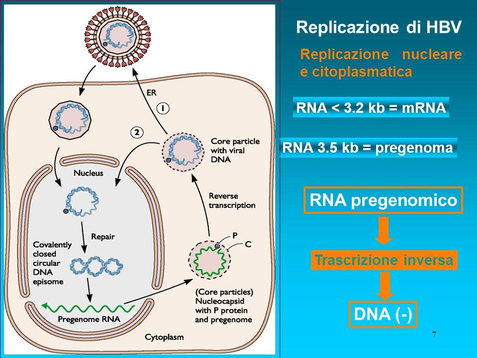 7 RNA 3.5 kb = pregenoma RNA < 3.2 kb = mRNA Replicazione di HBV Trascrizione inversa Replicazione nucleare e citoplasmatica RNA pregenomico DNA (-)
