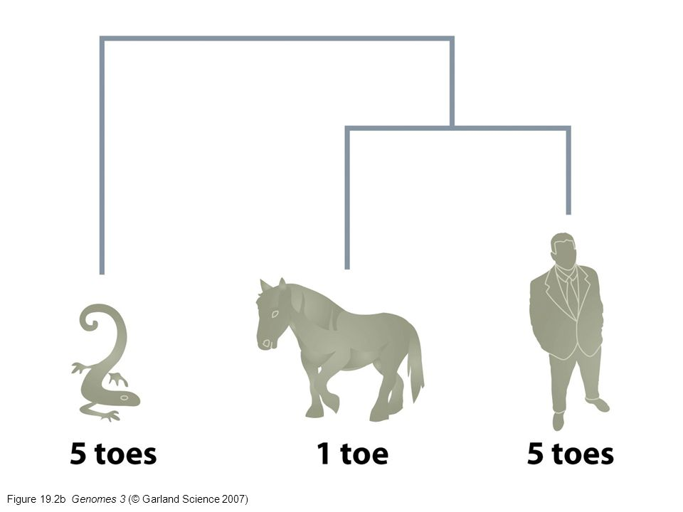 Figure 19.6 Genomes 3 (© Garland Science 2007)