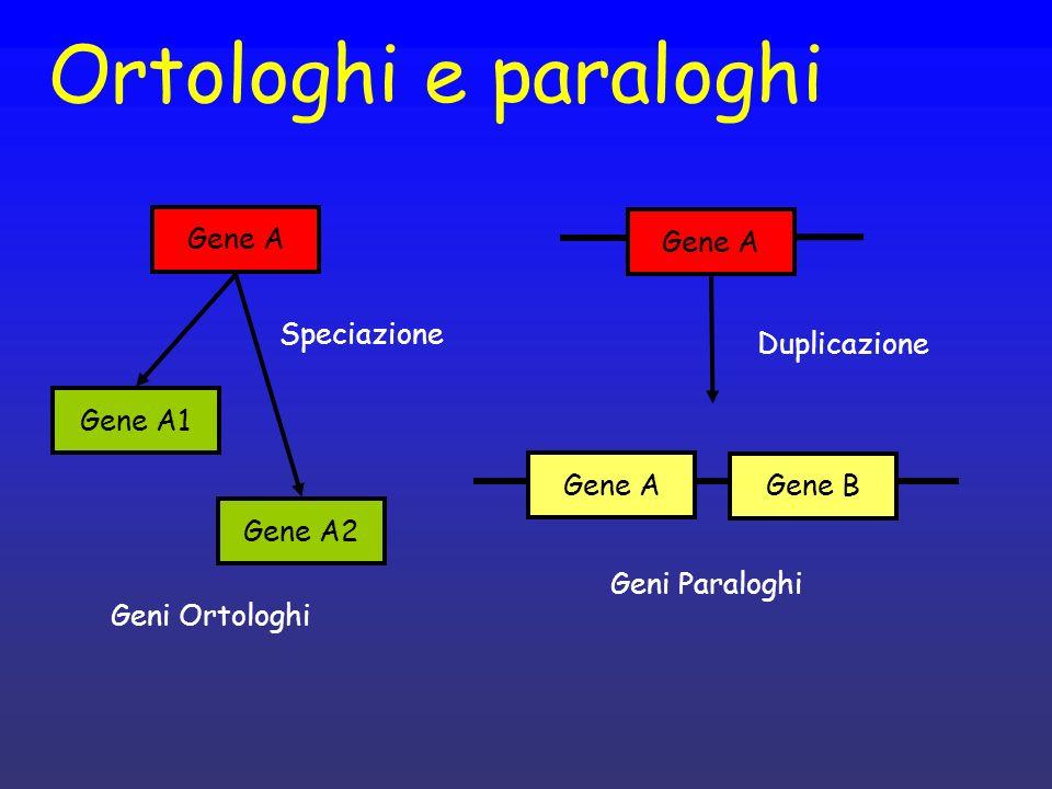 Ortologhi e paraloghi Gene A Gene A1 Gene A2 Speciazione Geni Ortologhi Gene A Gene B Duplicazione Geni Paraloghi