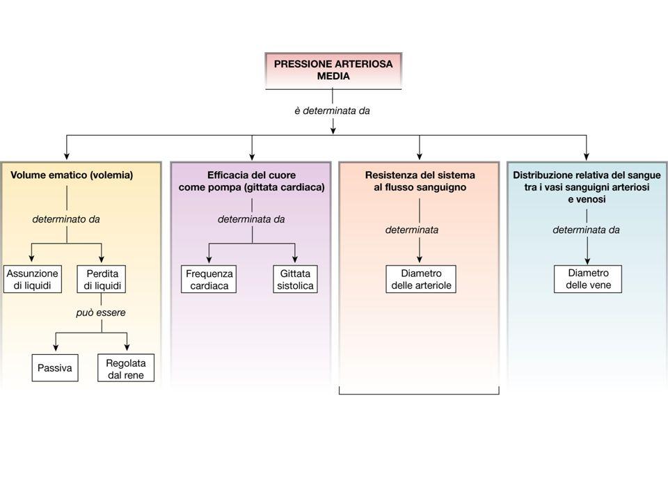 La regolazione dei gradienti pressori avviene principalmente modificando le resistenze periferiche (vasocostrizione/dilatazione delle arteriole) Questo è fondamentale per: 1.