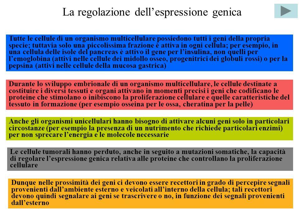 La regolazione dellespressione genica Tutte le cellule di un organismo multicellulare possiedono tutti i geni della propria specie; tuttavia solo una piccolissima frazione è attiva in ogni cellula; per esempio, in una cellula delle isole del pancreas è attivo il gene per linsulina, non quelli per lemoglobina (attivi nelle cellule dei midollo osseo, progenitrici dei globuli rossi) o per la pepsina (attivi nelle cellule della mucosa gastrica) Durante lo sviluppo embrionale di un organismo multicellulare, le cellule destinate a costituire i diversi tessuti e organi attivano in momenti precisi i geni che codificano le proteine che stimolano o inibiscono la proliferazione cellulare e quelle caratteristiche del tessuto in formazione (per esempio osseina per le ossa, cheratina per la pelle) Anche gli organismi unicellulari hanno bisogno di attivare alcuni geni solo in particolari circostanze (per esempio la presenza di un nutrimento che richiede particolari enzimi) per non sprecare lenergia e le molecole necessarie Le cellule tumorali hanno perduto, anche in seguito a mutazioni somatiche, la capacità di regolare lespressione genica relativa alle proteine che controllano la proliferazione cellulare Dunque nelle prossimità dei geni ci devono essere recettori in grado di percepire segnali provenienti dallambiente esterno e veicolati allinterno della cellula; tali recettori devono quindi segnalare ai geni se trascrivere o no, in funzione dei segnali provenienti dallesterno