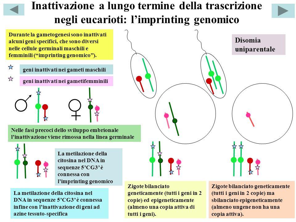 Inattivazione a lungo termine della trascrizione negli eucarioti: limprinting genomico Durante la gametogenesi sono inattivati alcuni geni specifici, che sono diversi nelle cellule germinali maschili e femminili (imprinting genomico).