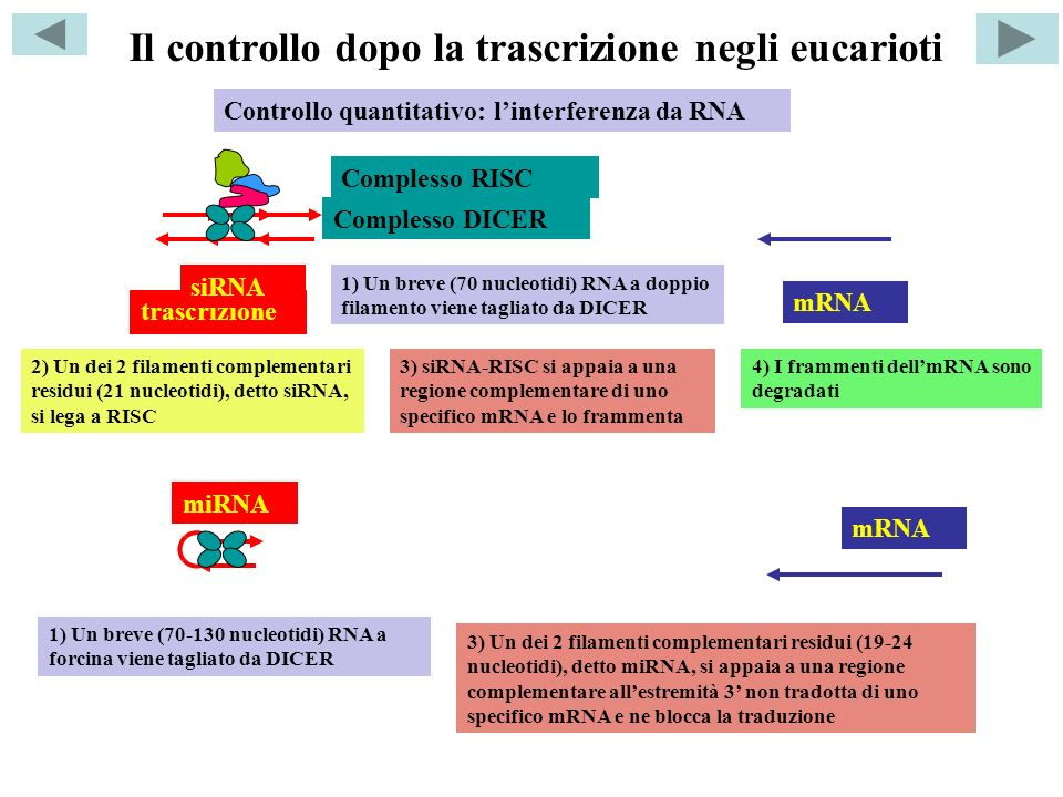 Controllo quantitativo: linterferenza da RNA trascrizione Complesso DICER siRNA Complesso RISC mRNA 1) Un breve (70 nucleotidi) RNA a doppio filamento viene tagliato da DICER 2) Un dei 2 filamenti complementari residui (21 nucleotidi), detto siRNA, si lega a RISC 3) siRNA-RISC si appaia a una regione complementare di uno specifico mRNA e lo frammenta 4) I frammenti dellmRNA sono degradati 1) Un breve (70-130 nucleotidi) RNA a forcina viene tagliato da DICER 3) Un dei 2 filamenti complementari residui (19-24 nucleotidi), detto miRNA, si appaia a una regione complementare allestremità 3 non tradotta di uno specifico mRNA e ne blocca la traduzione mRNA miRNA Il controllo dopo la trascrizione negli eucarioti
