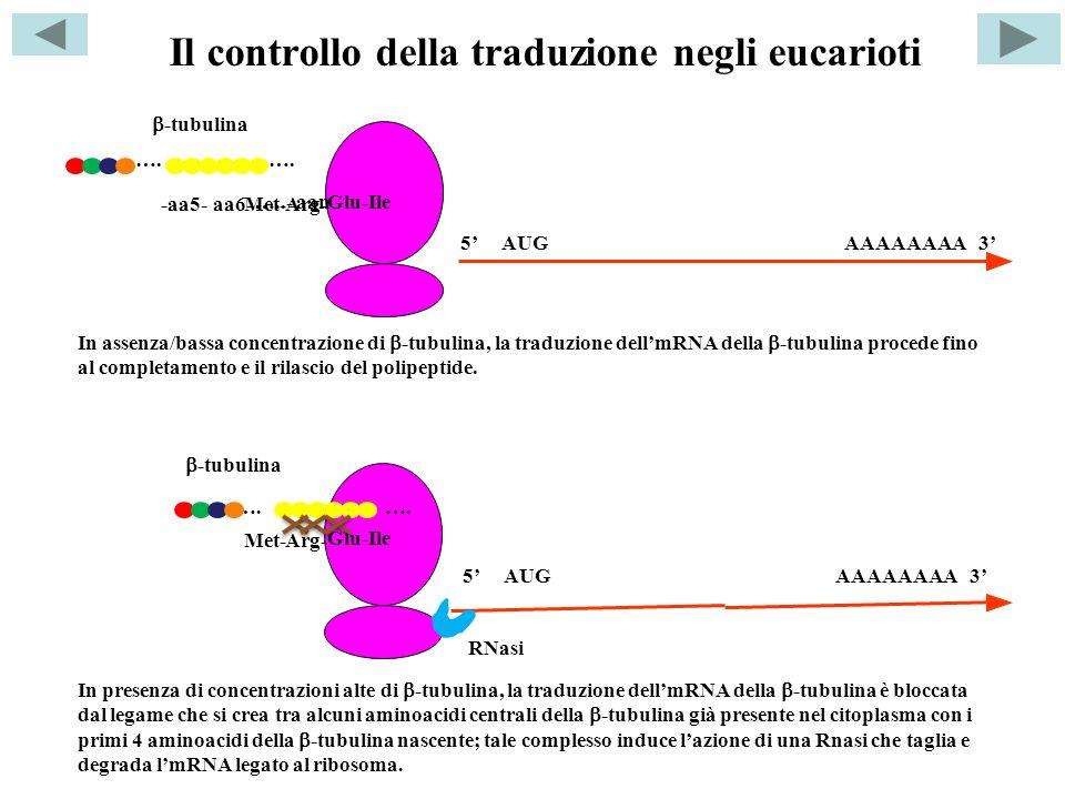 Il controllo della traduzione negli eucarioti AUG 5AAAAAAAA 3 Arg-Met- Glu-Ile aa6--aa5- …..-aan 5 AUGAAAAAAAA 3 -tubulina …. Arg-Met- Glu-Ile -tubuli