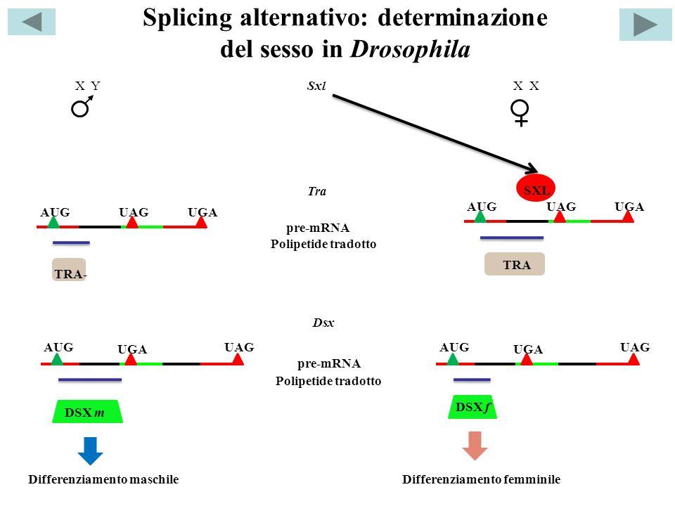 Splicing alternativo: determinazione del sesso in Drosophila DSX m X X YSxl SXL AUGUAGUGA AUGUAGUGA AUG UGA UAGAUG UGA UAG Tra TRA- TRA Polipetide tradotto Dsx Polipetide tradotto DSX f Differenziamento maschileDifferenziamento femminile pre-mRNA