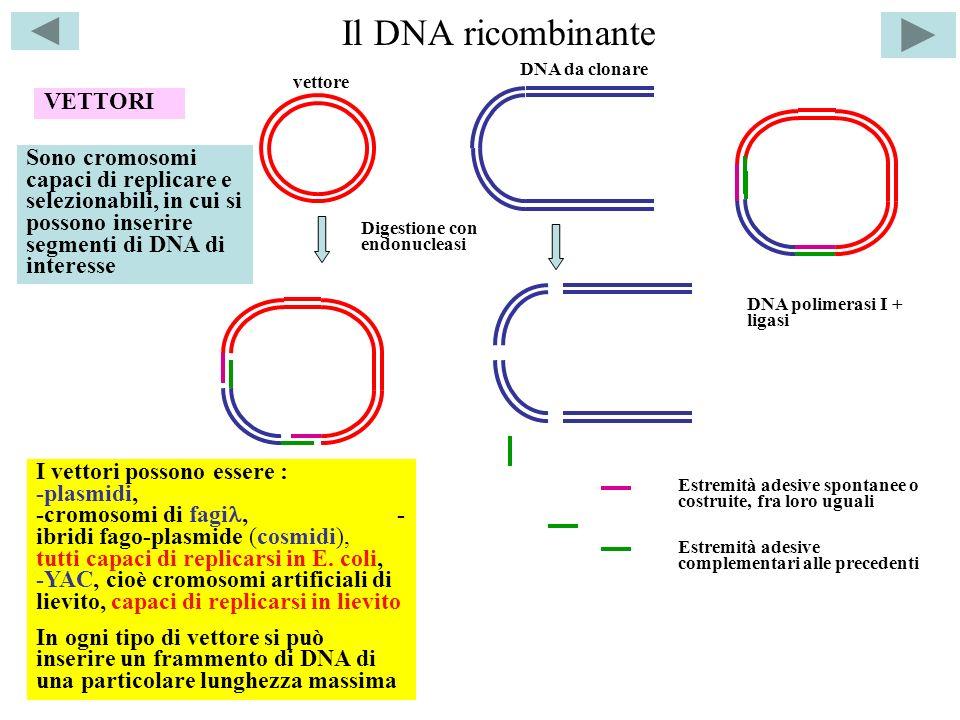 Il DNA ricombinante VETTORI Sono cromosomi capaci di replicare e selezionabili, in cui si possono inserire segmenti di DNA di interesse I vettori possono essere : -plasmidi, -cromosomi di fagi, - ibridi fago-plasmide (cosmidi), tutti capaci di replicarsi in E.
