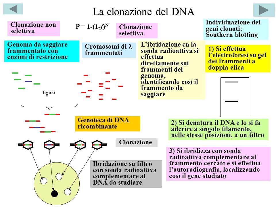 La clonazione del DNA Clonazione non selettiva Genoma da saggiare frammentato con enzimi di restrizione Cromosomi di frammentati ligasi Genoteca di DN