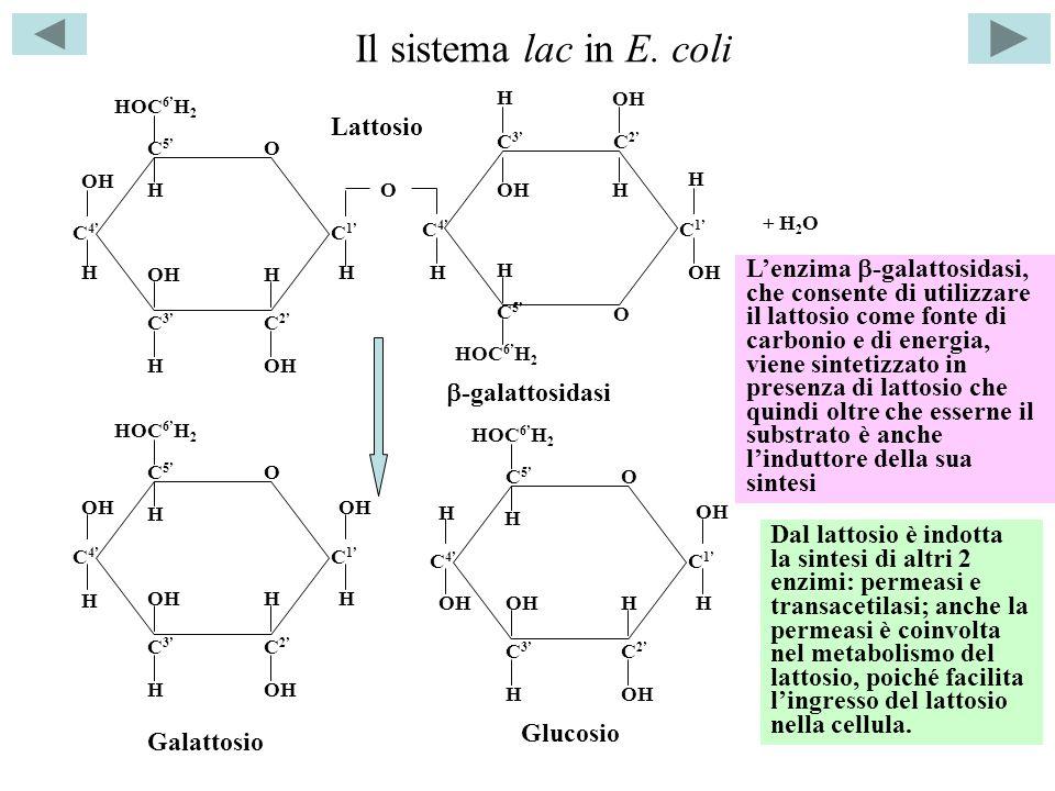 I geni strutturali e il gene I transacetilasi -galattosidasi permeasi ZYA Un unico mRNA policistronico trascrizione traduzione F(lac) I I + = allele normale:Z, Y, A trascrivono in presenza dellinduttore; I - = mutante costitutivo: Z, Y, A trascrivono sempre; I s = allele inibente la risposta allinduttore: Z, Y, A non trascrivono mai Merodiploidi per definire le relazioni funzionali tra gli alleli I + Z - /I - Z + Trascrive* con linduttore I - Z - /I + Z + Trascrive* con linduttore I - Z - /I - Z + Trascrive* sempre I s Z + /I + Z + Non trascrive mai I s Z + /I - Z + Non trascrive mai 1) I s è dominante su I + che a sua volta è dominante su I - 2) I + è dominante su I - indipendentemente dalla posizione in cis o in trans rispetto a Z + Geni lac *un mRNA per un enzima funzionale