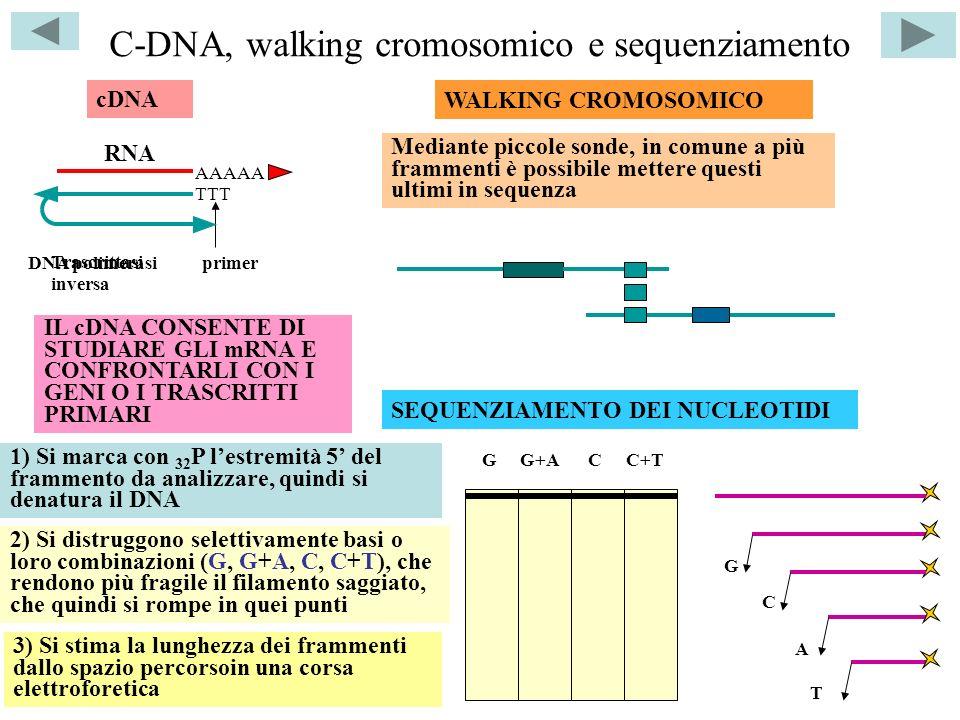 C-DNA, walking cromosomico e sequenziamento AAAAA RNA TTT cDNA primer Trascrittasi inversa DNA polimerasi WALKING CROMOSOMICO IL cDNA CONSENTE DI STUDIARE GLI mRNA E CONFRONTARLI CON I GENI O I TRASCRITTI PRIMARI Mediante piccole sonde, in comune a più frammenti è possibile mettere questi ultimi in sequenza SEQUENZIAMENTO DEI NUCLEOTIDI C 1) Si marca con 32 P lestremità 5 del frammento da analizzare, quindi si denatura il DNA 2) Si distruggono selettivamente basi o loro combinazioni (G, G+A, C, C+T), che rendono più fragile il filamento saggiato, che quindi si rompe in quei punti G A T GG+ACC+T 3) Si stima la lunghezza dei frammenti dallo spazio percorsoin una corsa elettroforetica
