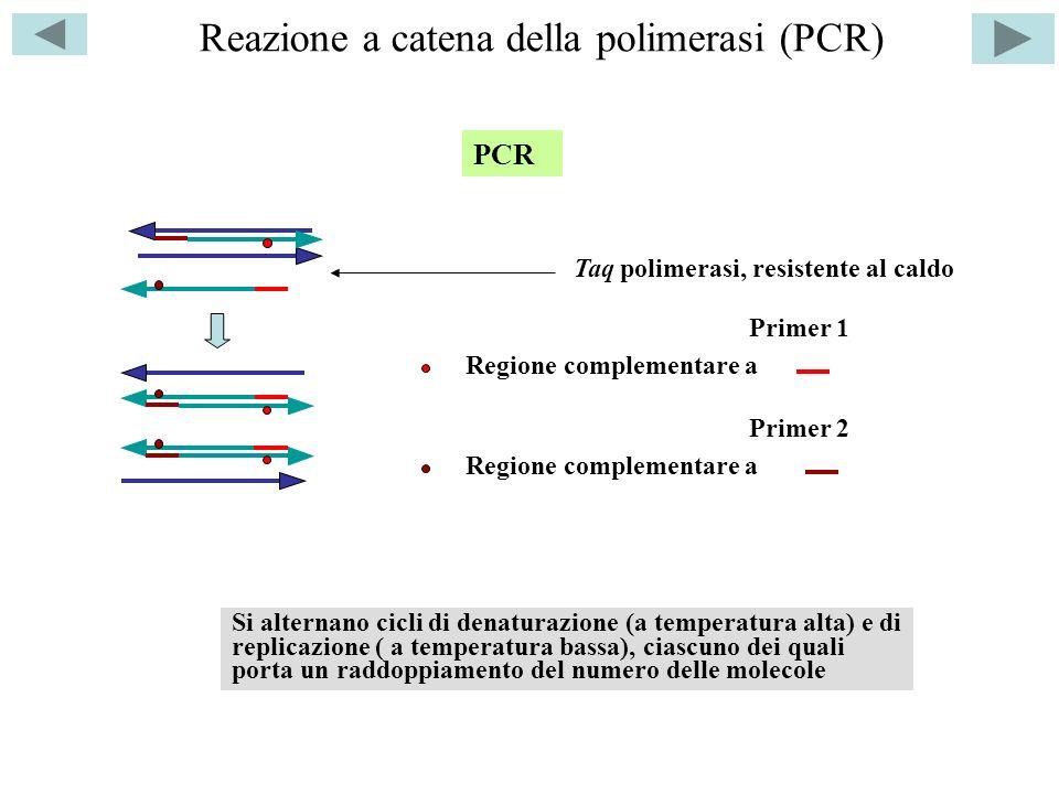 Reazione a catena della polimerasi (PCR) PCR Primer 1 Primer 2 Taq polimerasi, resistente al caldo Regione complementare a Si alternano cicli di denaturazione (a temperatura alta) e di replicazione ( a temperatura bassa), ciascuno dei quali porta un raddoppiamento del numero delle molecole