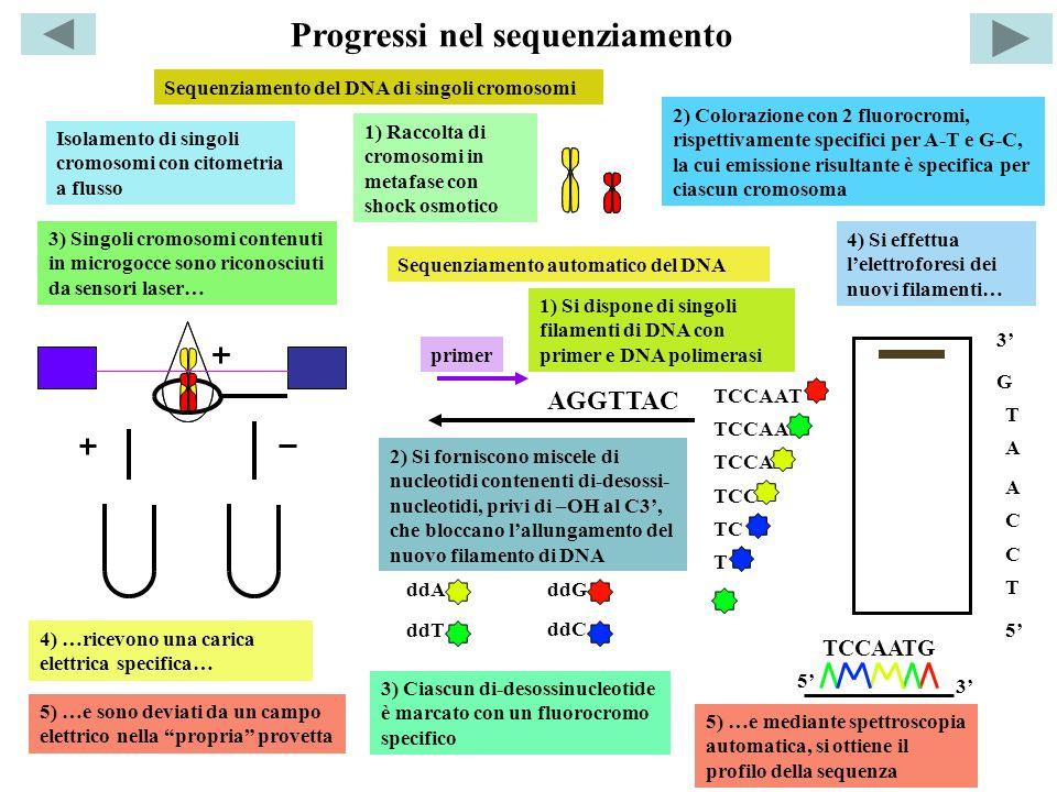 Isolamento di singoli cromosomi con citometria a flusso 1) Raccolta di cromosomi in metafase con shock osmotico 2) Colorazione con 2 fluorocromi, risp